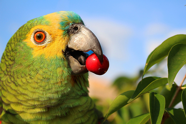 papagaio-dicas-incriveis-sobre-esta-ave-encantadora